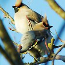 Waxwings on rowan tree - Cambridgeshire, England by Lizzy Doe