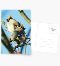 Waxwings on rowan tree - Cambridgeshire, England Postcards