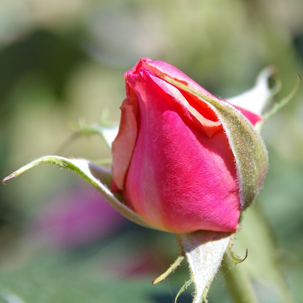 Pink Rosebud by Emma Newman