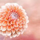 Glorious Salmon Dahlia by Anita Pollak