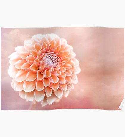 Glorious Salmon Dahlia Poster