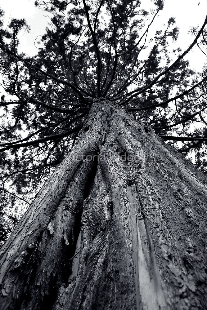 Big old Douglas Fir by Victoria Kidgell