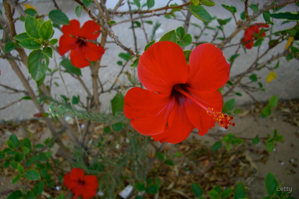 Vivid Red by Letty