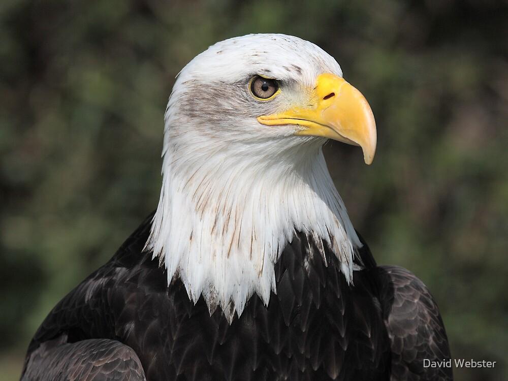 Bald Eagle by David Webster