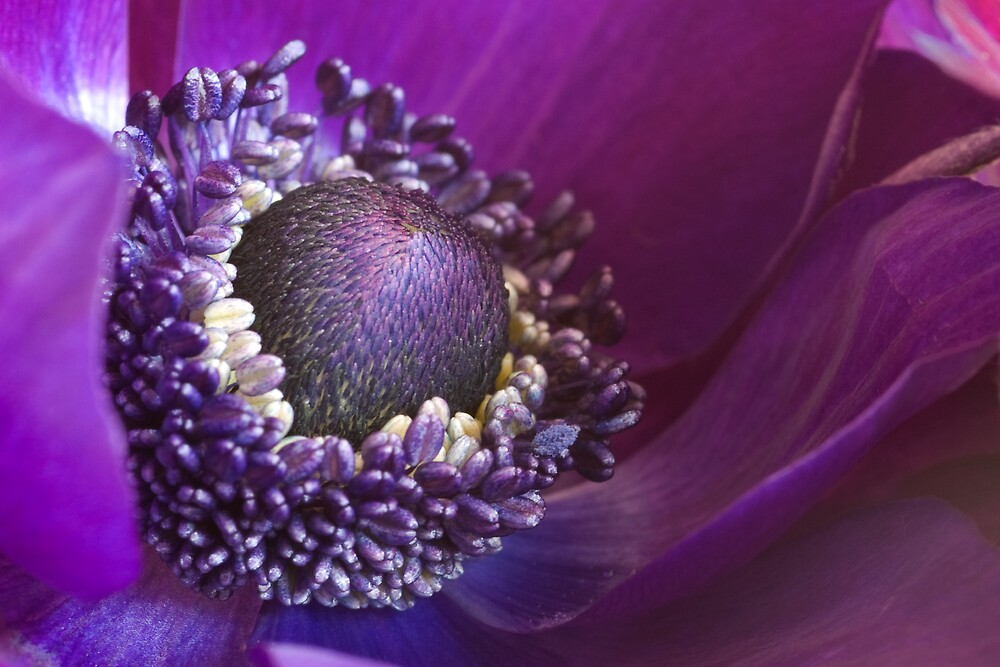 Purple Anemone by Ellen Veringa