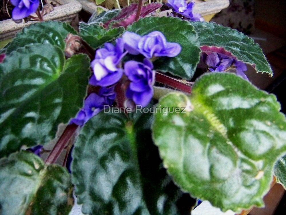 African Violet Study by Diane Rodriguez