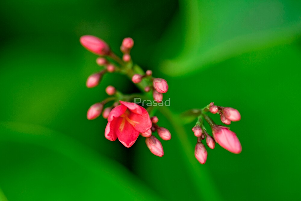 Floral Emergence by Prasad