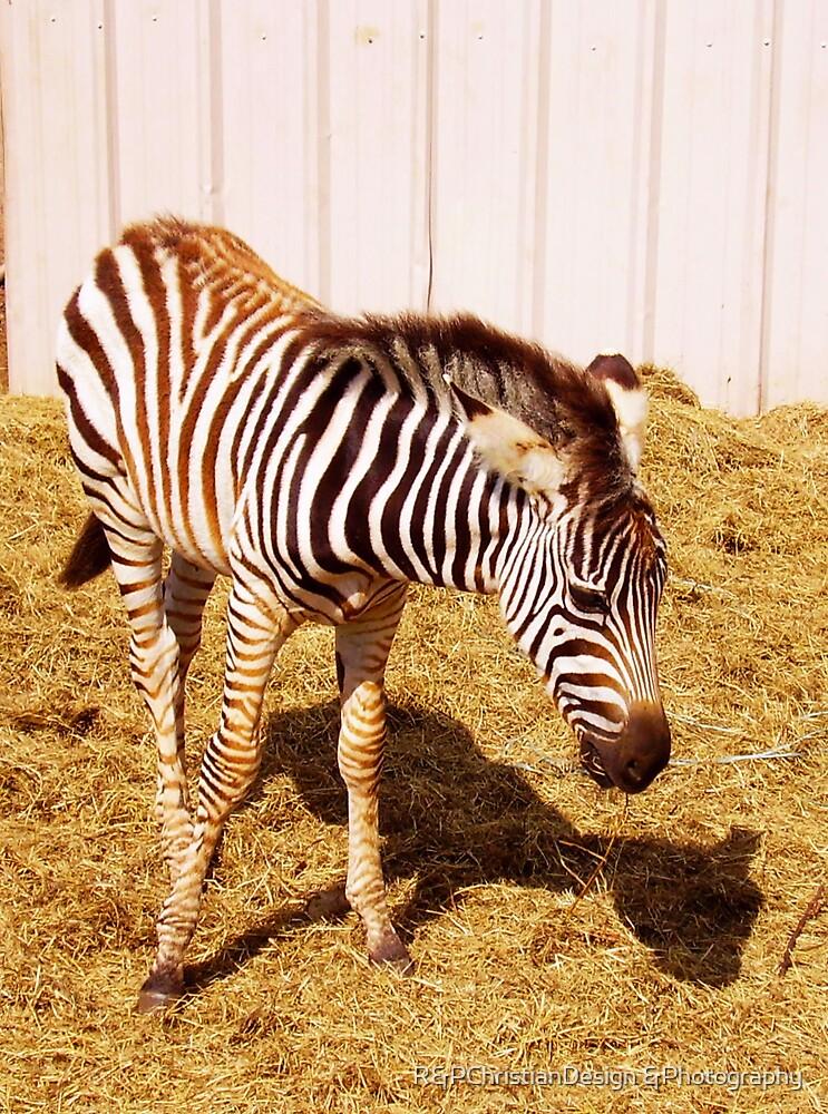 Zebra by R&PChristianDesign &Photography