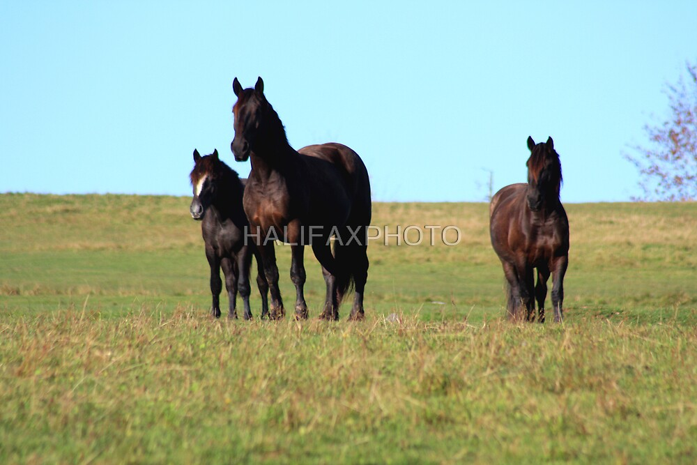Horses by HALIFAXPHOTO