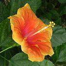 Orange hybiscus by ienemien