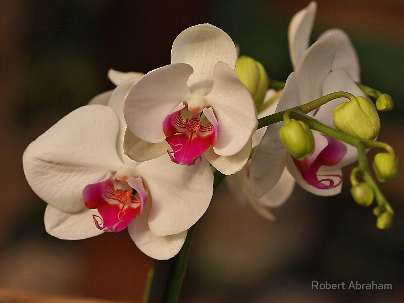 Orchid by Robert Abraham