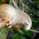 Grey Squirrel by Scott Moore
