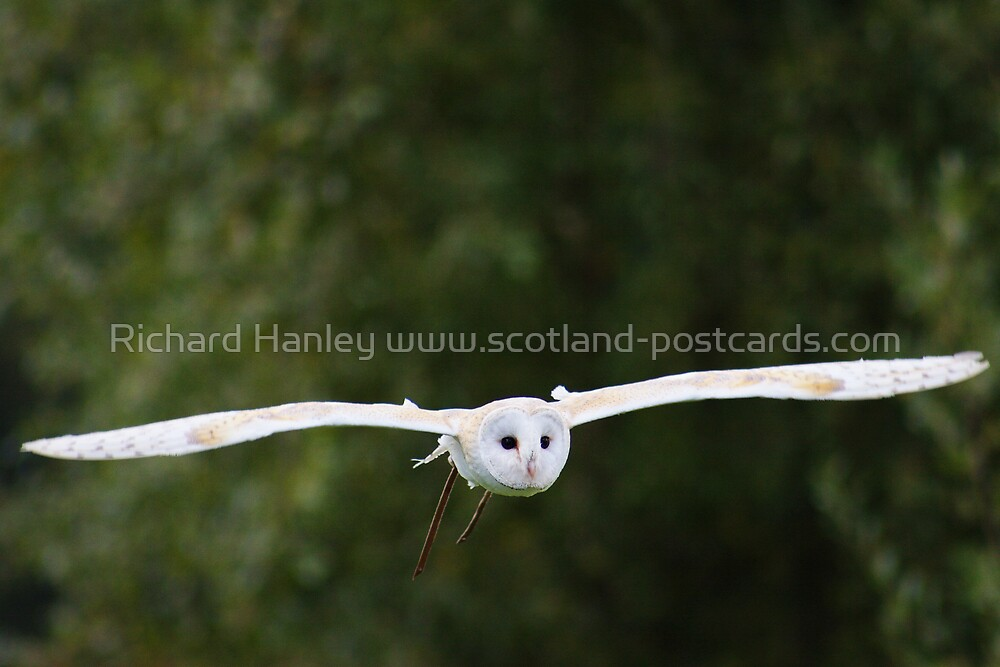 Barn Owl by Richard Hanley www.scotland-postcards.com