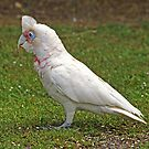 Long Billed Corella by Bev Pascoe