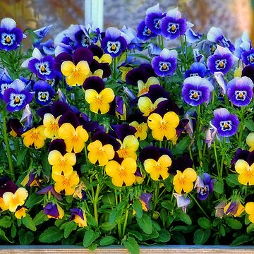 Window Box with Pansies by rural-guy