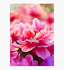 Fresh pink white red tulips Photographic Print