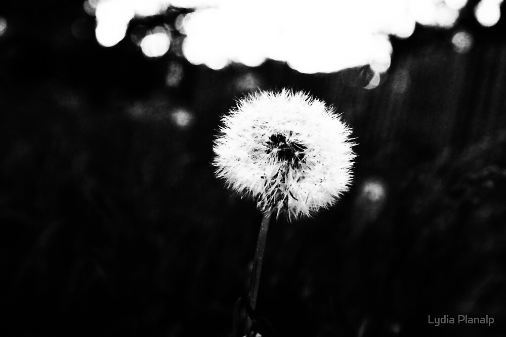 Dandelion 4 Black and White by Lydia Planalp