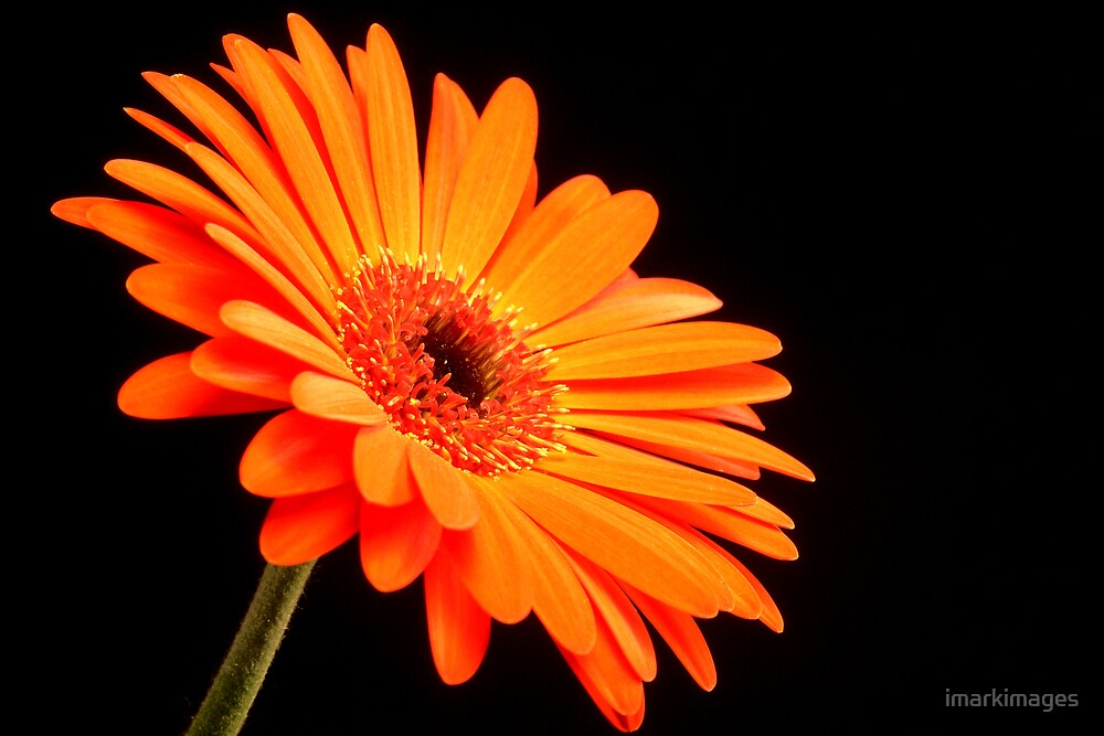 Orange Gerber Daisy by imarkimages