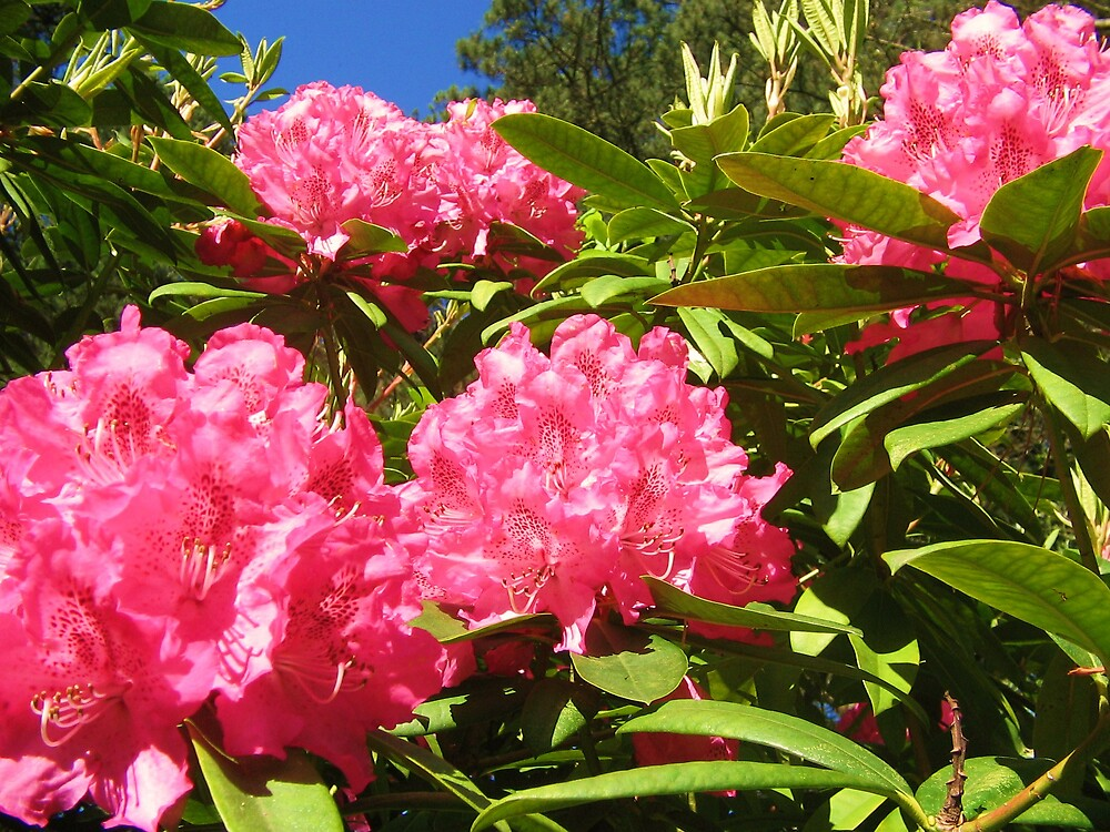 the Rhododendrons by Zamia