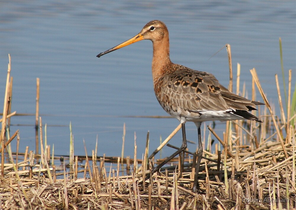 Black-Tailed Godwit by Robert Abraham