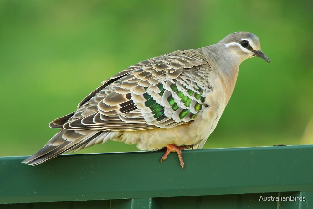 Common Bronzewing by AustralianBirds