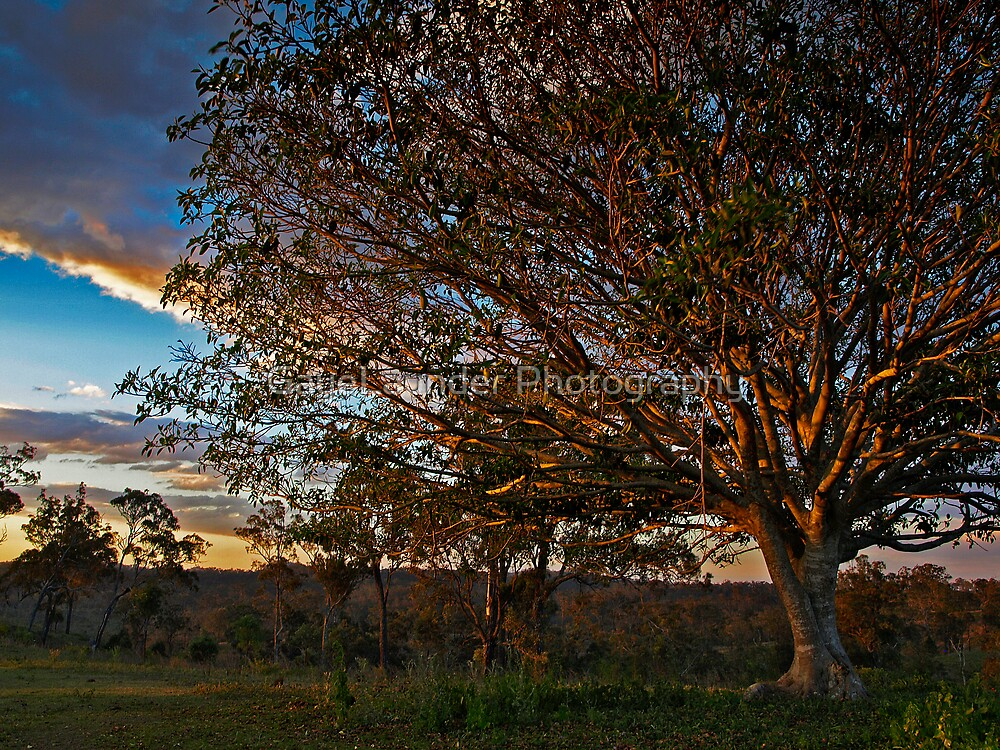 Fig Tree at Sunset by GayeLaunder Photography
