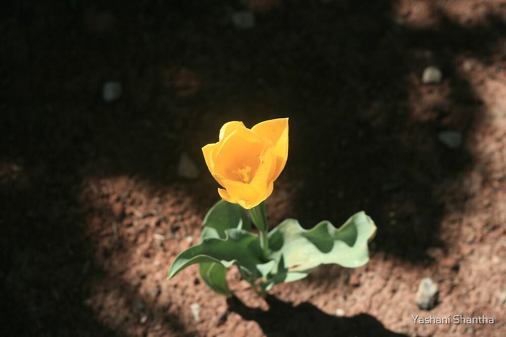 Lone Flower by Yashani Shantha