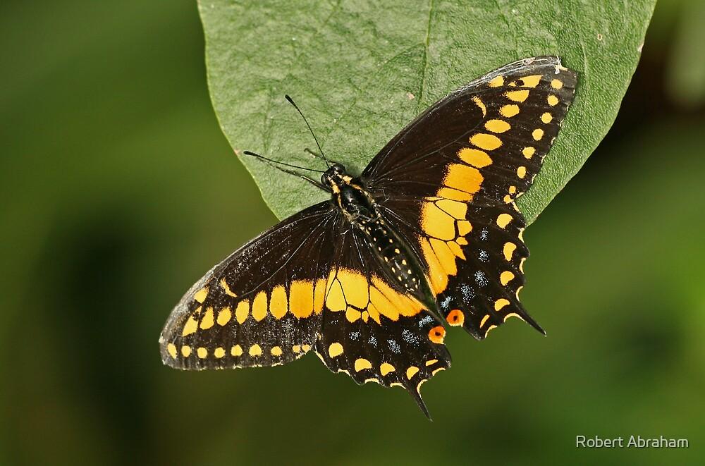 Black Swallowtail Butterfly by Robert Abraham