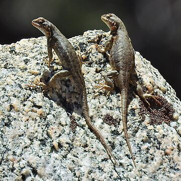 A Couple of Sagebrush Lizards by sandyo2ly