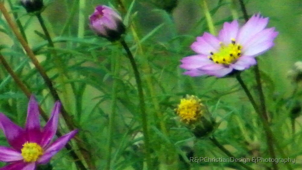 Purple Cosmos by R&PChristianDesign &Photography