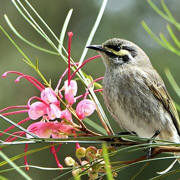 Yellow Faced Honey Eater - Melbourne by AndreaEL