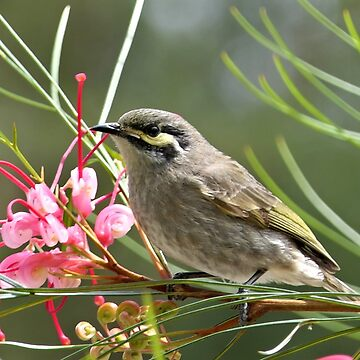 Yellow Faced Honey Eater - Melbourne, Au by AndreaEL