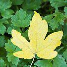 Field Maple Leaf by kernuak