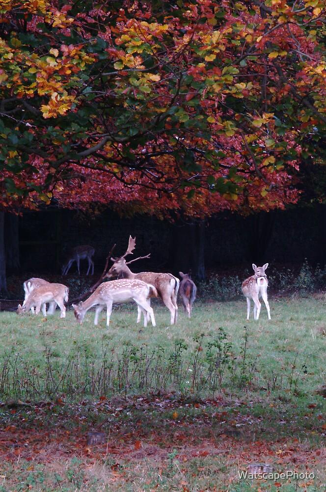Fallow Deer by WatscapePhoto