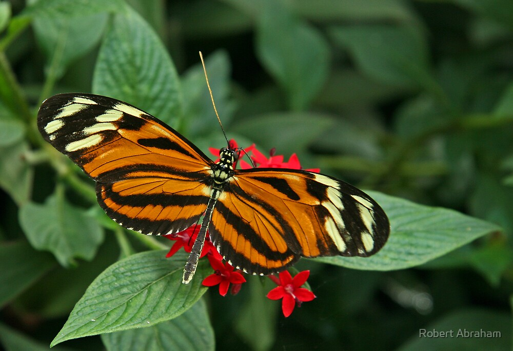Tiger Longwing by Robert Abraham