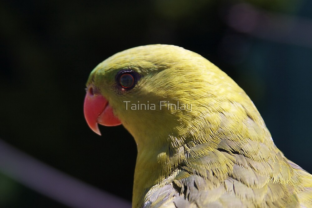 Regent Parrot by Tainia Finlay