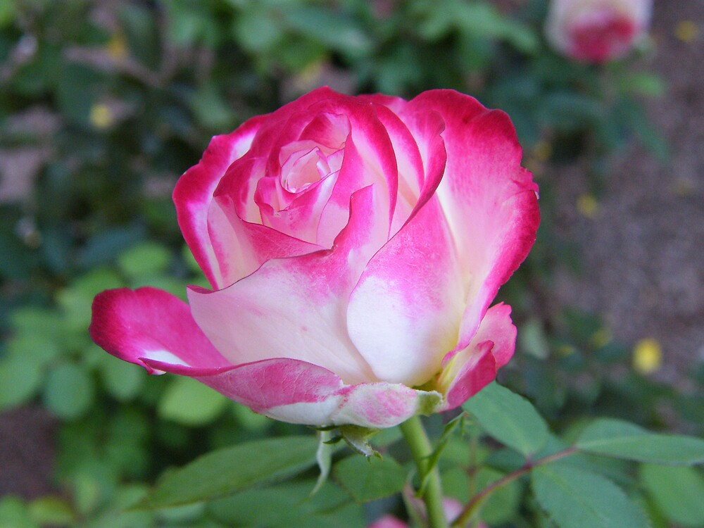 Beauty in pink and white by Maria Marsico