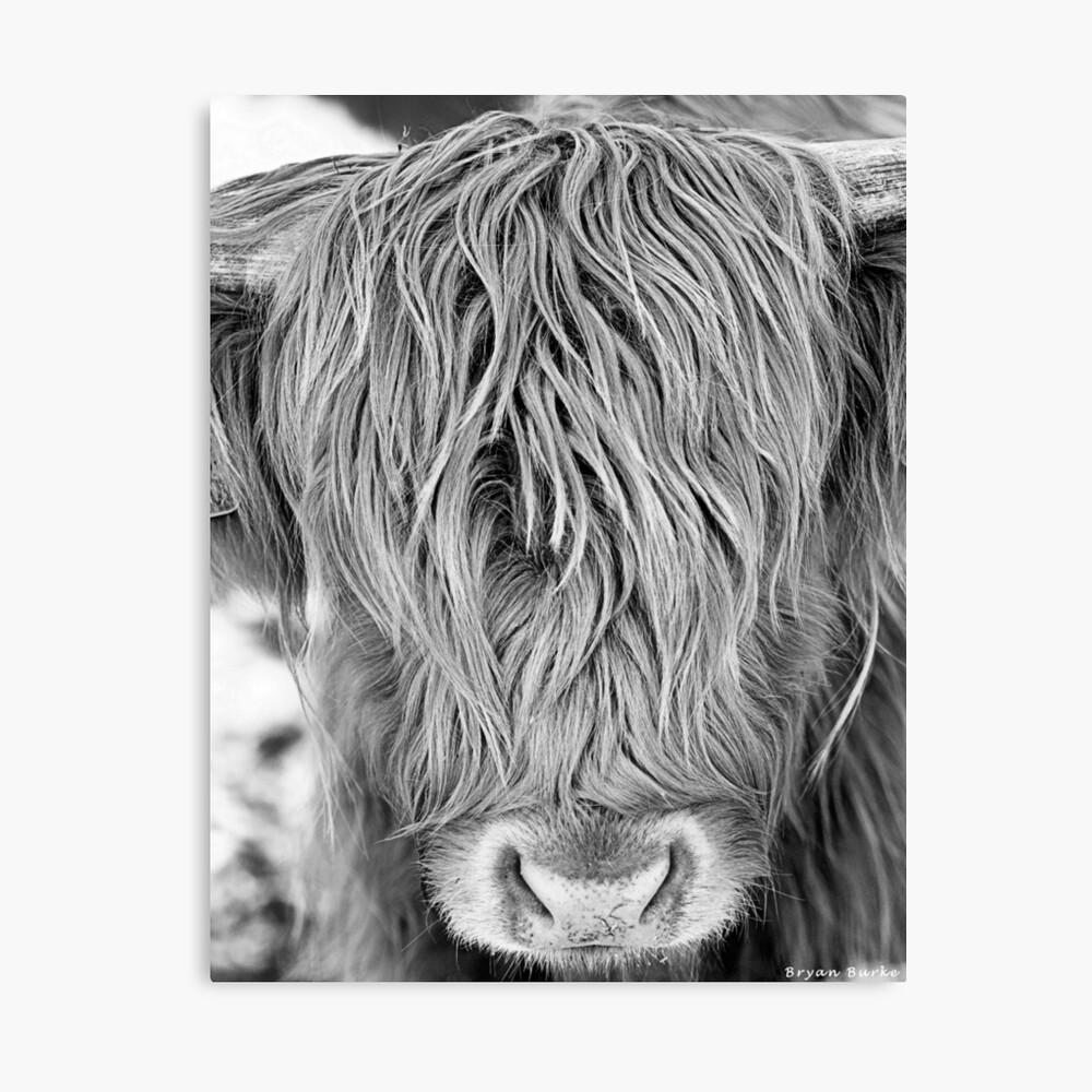 Highland Cow - Face Portrait Canvas Print