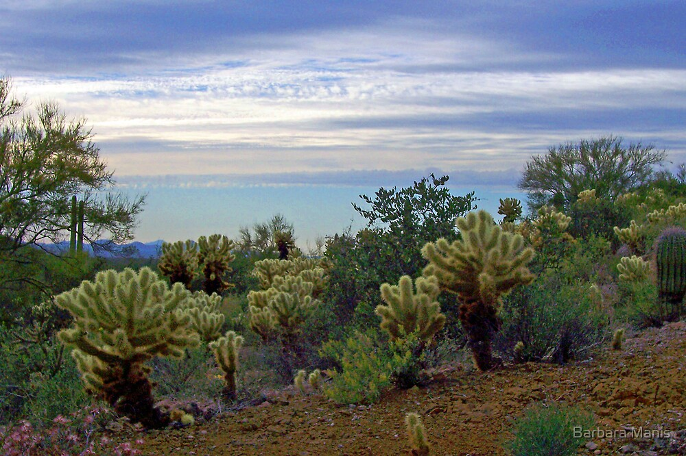 Cholla Cacti in the Desert by Barbara Manis
