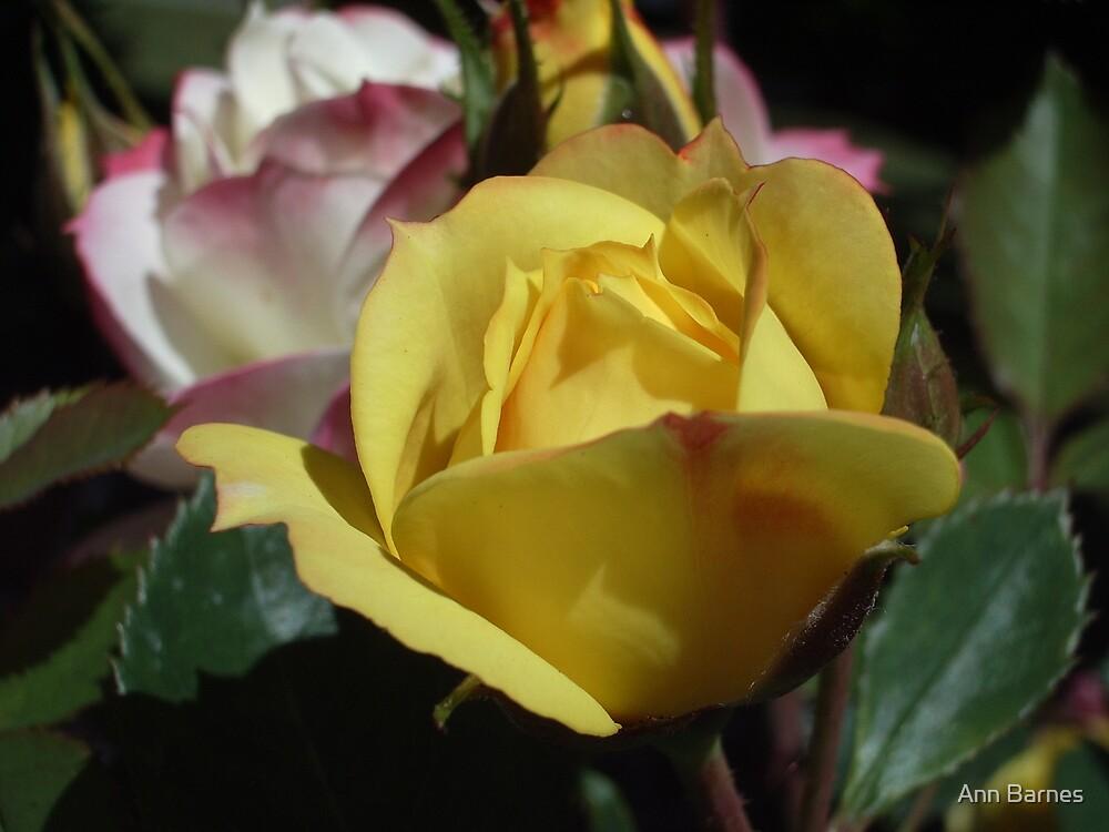Sunshine Rose by Ann Barnes