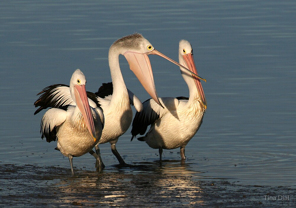 Pelicans by Tina Dial