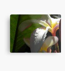 White plumeria #3, Big Island, Hawaii Metal Print