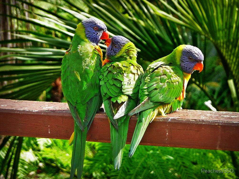 Lorikeet Family by Peaches1950