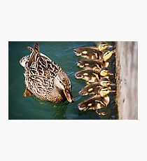 Getting Your Ducks In A Row.... Photographic Print