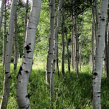 Aspen Forest by curlybit