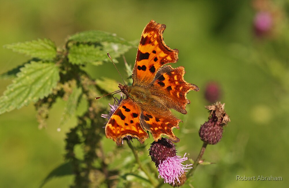 Comma Butterfly by Robert Abraham