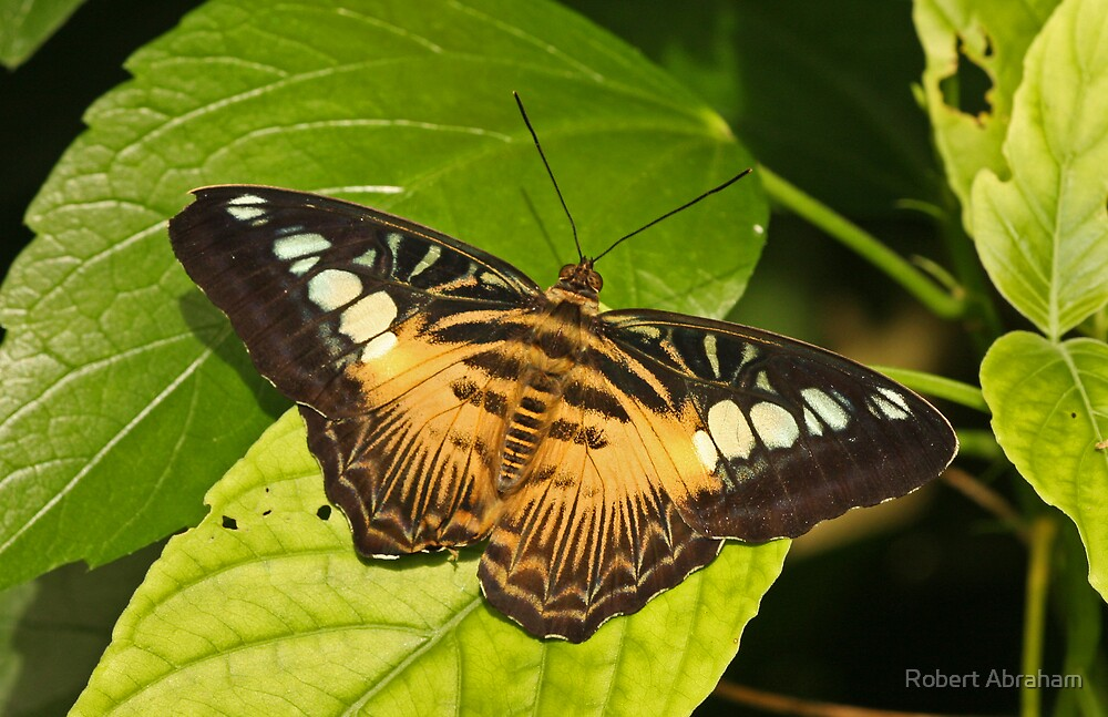 Brown Clipper Butterfly by Robert Abraham