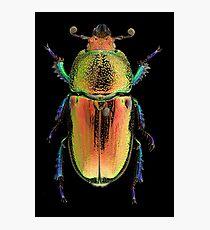 Female Golden Green Stag Beetle (Lamprima latreillii) Photographic Print