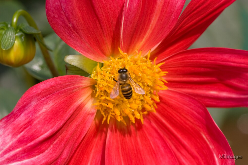 Bee On Dahlia by MiImages