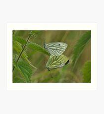 Greenveined White Butterfly Art Print